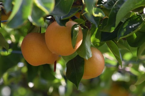 あわら産 梨とぶどうのジュースセット - ピアファーム